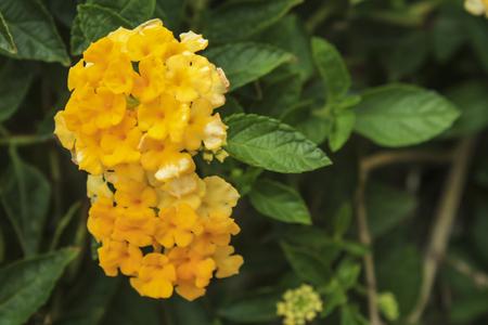 lantana: Beautiful Colorful Hedge Flower,Lantana, Weeping lantana,Lantana camara L,Medicinal plants have a variety of therapeutic properties