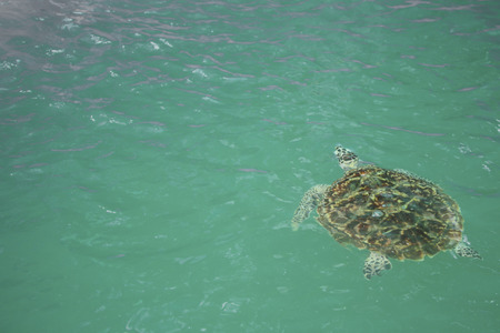 Giant sea turtle is swimming in a  turtle conservation tank.