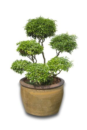 Beautiful Banyan Tree or Ficus Microcarpa Bonsai in terracotta Pot container isolated on white background