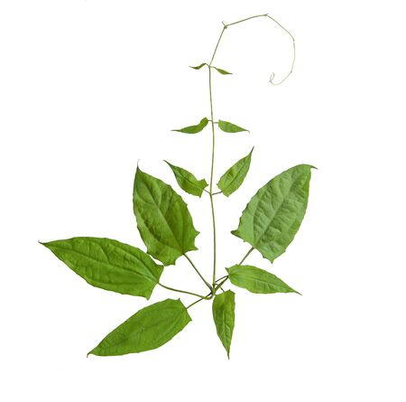 Herbs, Fresh green Laurel clock vine (Thunbergia laurifolia) leaves isolated on white background. Thunbergia laurifolia is an herb that is used to absorb toxins, Thai herb. Stock Photo