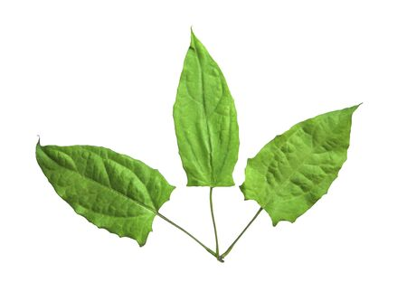 Herbs, Fresh green Laurel clock vine (Thunbergia laurifolia) leaves isolated on white background. Thunbergia laurifolia is an herb that is used to absorb toxins, Thai herb.