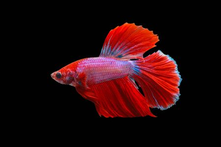 Siamese Fighting Fish, beautiful tail of red & pink fighting fish on black background.Colourful Betta fish