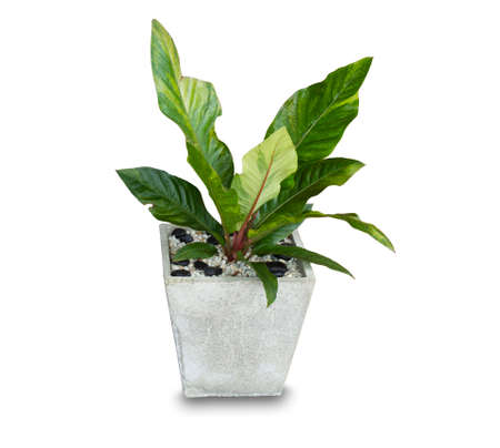 Ornamental plants, in the house with large and beautiful green leaves, in cement pots, sacred plants popular in the home.on white background wich clipping part Standard-Bild