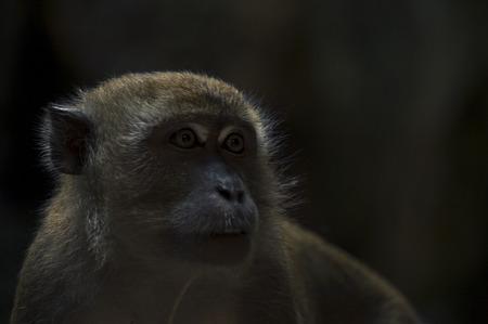 lejos: Mono que mira lejos con fondo oscuro