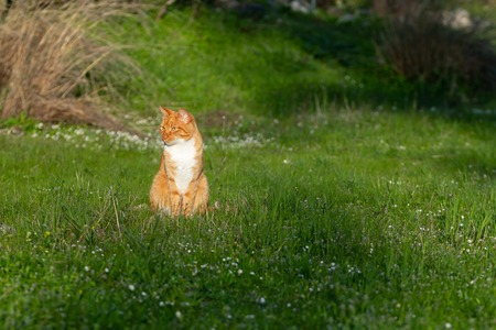 adult domestic cat sitting in grass and daisies