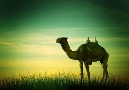 Camel in desert the African landscape photo