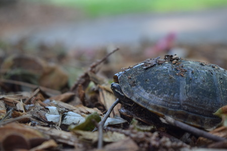 baby turtle: Baby turtle on the leafs.