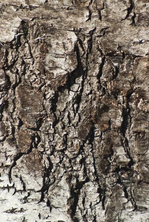 birchbark: The bark of the birch tree