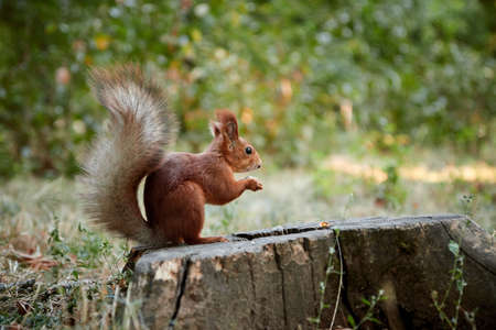 squirrel rodent sitting on a stump holding and eating a nut in its paws fluffy tail blurred background