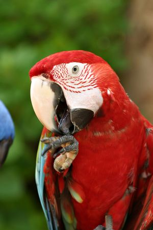Parrot licking hand photo