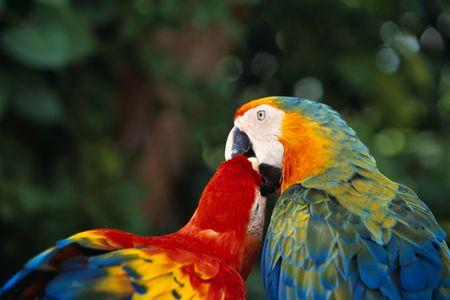 Loving Parrots Фото со стока