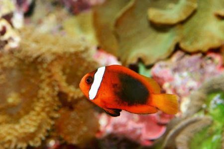 close-up of clownfish photo