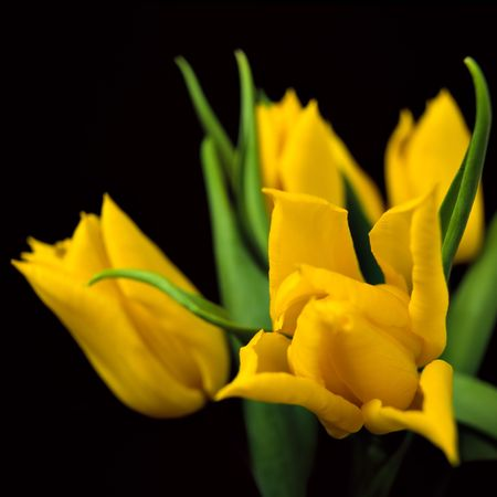 Yellow tulips on black background photo