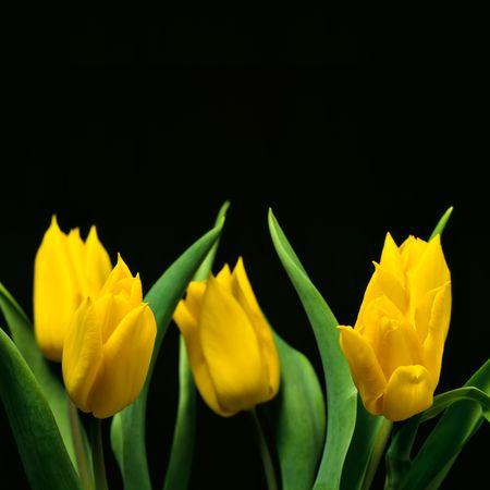 bloomy: Yellow tulips on black background Stock Photo