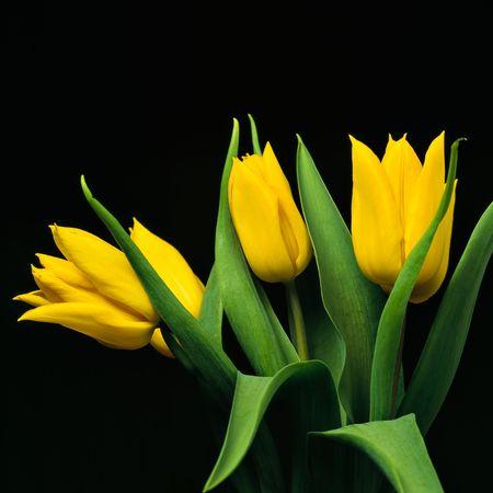 poetic: Yellow tulips on black background Stock Photo