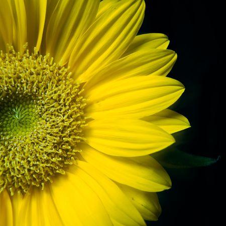 bloomy: Yellow gerber closeup on black background
