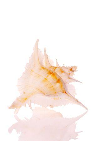 murex shell: Seashell isolated on white background Stock Photo