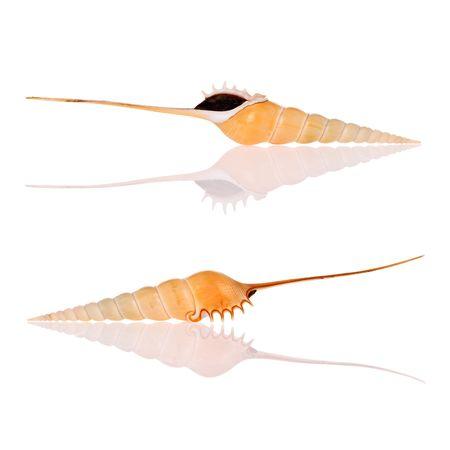 Shinbone Tibia Seashells isolated on white background photo