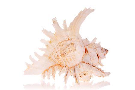murex shell: Murex Seashell isolated on white background Stock Photo