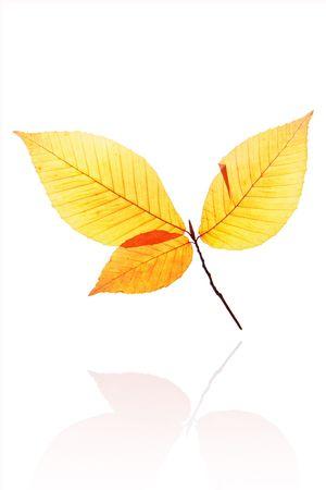 Autumn leaf isolated on white background photo