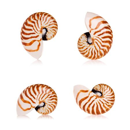 Nautilus seashells isolated on white background photo