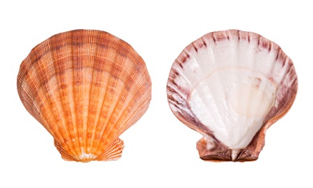 Scallop shells isolated on white background