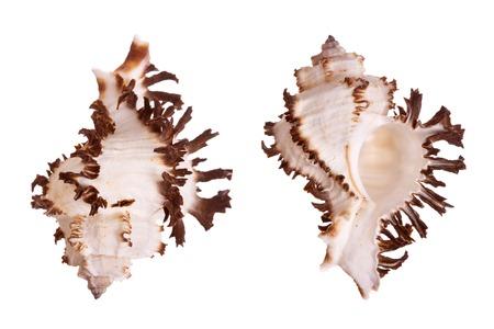 murex shell: Murex Seashells isolated on white background