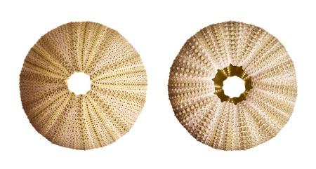 pilluelo: Urchin aisladas sobre fondo blanco Foto de archivo