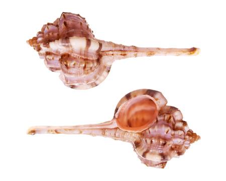 murex shell: Snipes Bill Murex Seashells isolated on white background Stock Photo