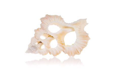sea life centre: Cut seashell isolated on white background with reflection Stock Photo