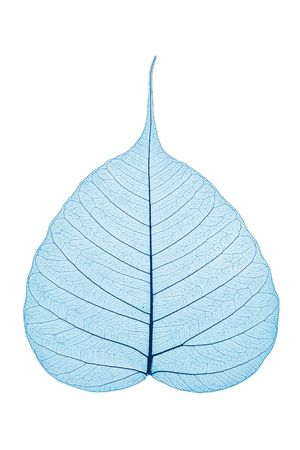 Single skeleton leaf isolated on white background