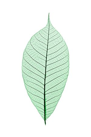 Single skeleton leaf isolated on white background photo