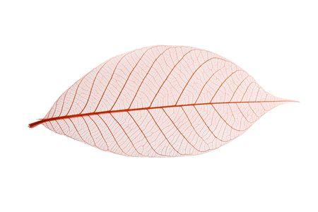 Single skeleton leaf isolated on white background