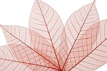 Skeleton Leaves Composition on white background