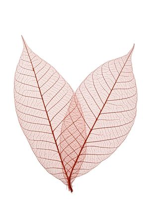 Skeleton Leaves Composition on white background photo