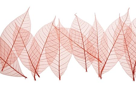 Red Skeleton Leaves on white background Stock Photo