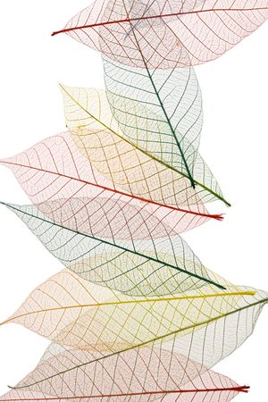 Colorful Skeleton Leaves on white background Imagens - 2051282