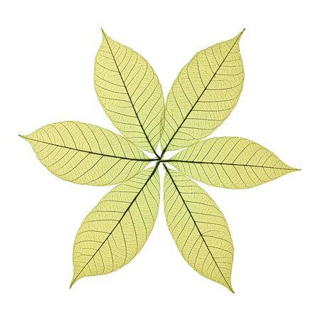 Skeleton Leaves Flower Composition on white background photo