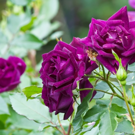 Purple roses photo