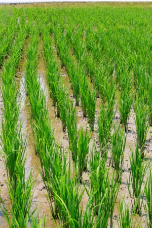 nascent: Close up of green paddy field with nascent plants