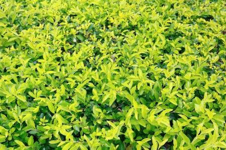 dewdrop: Golden dewdrop green leaf background