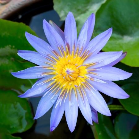 Closeup image of Lotus Plant on Water photo