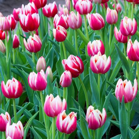 Tulip blooming in the garden photo