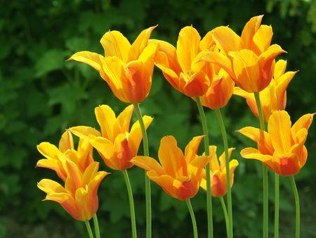 Eleven tulips in the garden