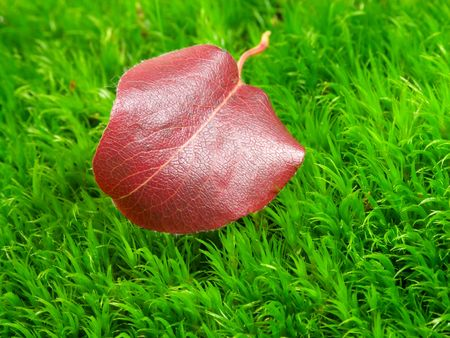 Red small leaf on green moss Stock Photo - 1907858