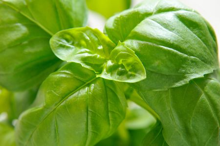 Fresh basil on white background.