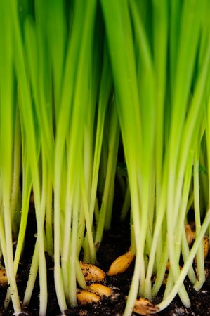 Oat growing out of the ground. Stock Photo