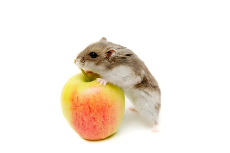 hamster: Hamster eating apple on the white background.
