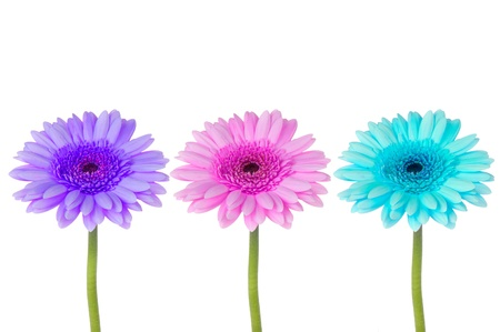 Three colorful gerberas on a white background.
