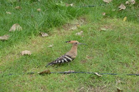 ornitology: hoopoe Stock Photo